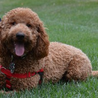 Photo of a handsome Doodle panting and lying down in the grass after his exercise.