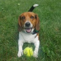 Beagle playing in grass with tennis ball