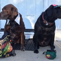 Photo of two dogs wearing Blackhawks gear. Getting ready for their back to school schedule.