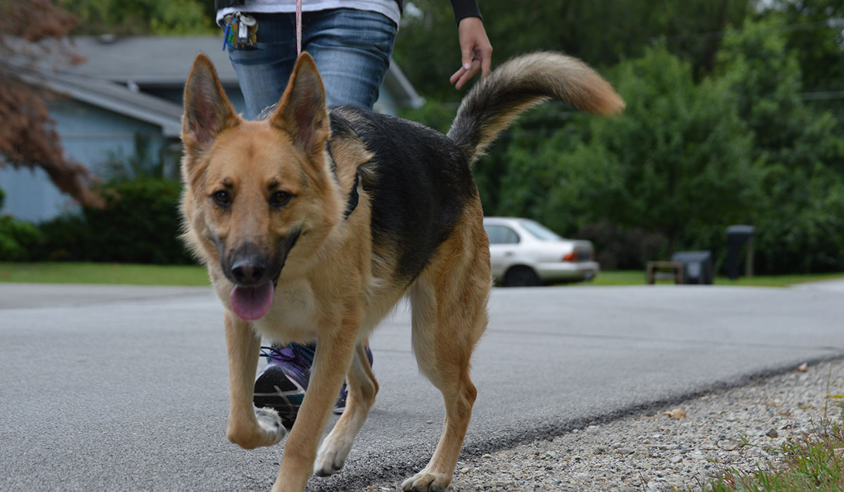Photo of a Shephard dog on a walk smiling at the camera