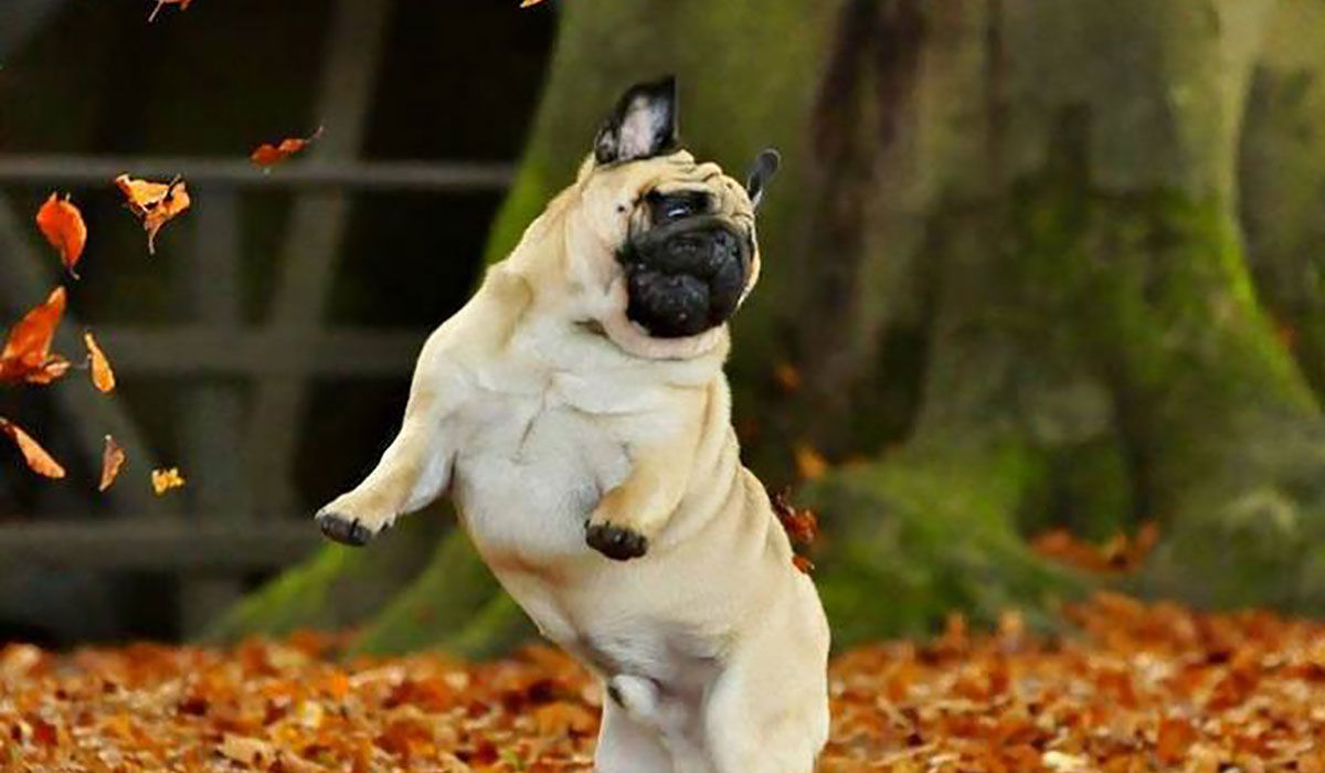 Photo of a pug playing in the leaves