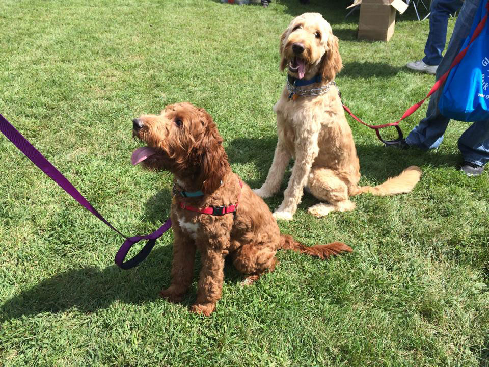 Photo of 2 Doodles waiting to play at Spring Avenue Dog Park