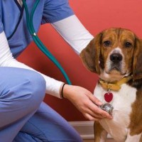 Photo of a dog getting a check-up at Wheaton Animal Hospital