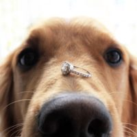 Golden retriever dog presents engagement ring on nose for spring love