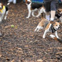 Dogs enjoying Beaglefest at Paws Park