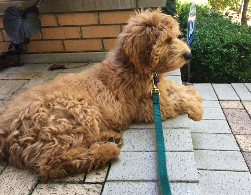 Golden doodle puppy sitting on the front step of her home.